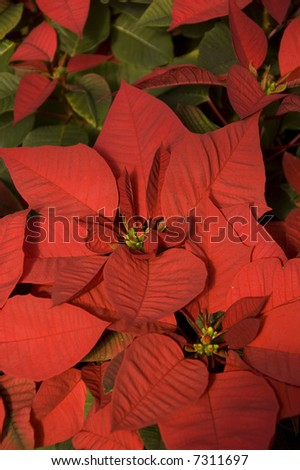 closeup of red poinsettias - stock photo