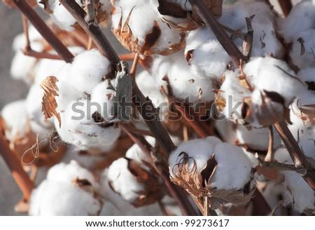Closeup of ripe dry cotton plant - stock photo