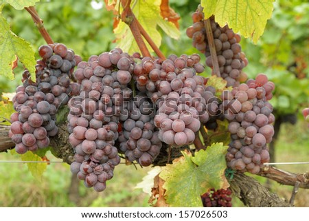 closeup of ripe hanging bunches of red wine grapes , region of Chianti Rufina, Florence, Tuscany, Italy, Europe - stock photo