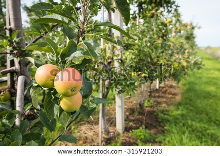 Closeup of ripening apples in a modern apple orchard with low espaliers. It is a sunny day at the end of the summer season. - stock photo