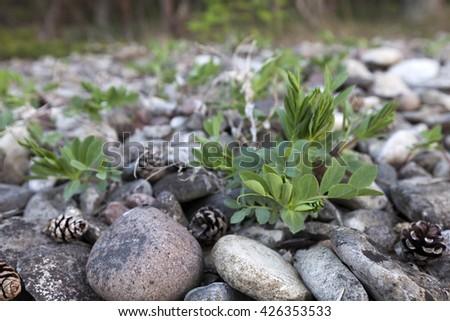 Closeup of sea pea (lathyrus marinus) growing between small stones at seaside. Photographed at Baltic coast, Hiiumaa, Europe. Very shallow DOF.  - stock photo