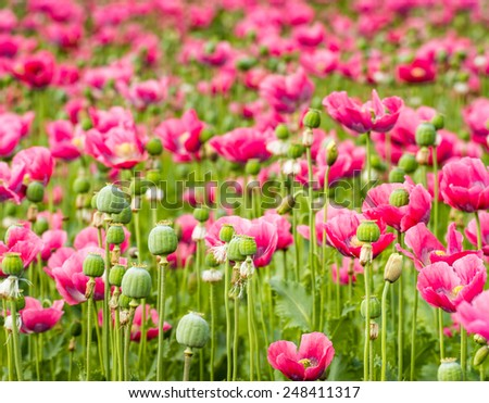 Closeup of seed pods , stems and pink colored flowers  of Papaver somniferum plants in a large field. - stock photo