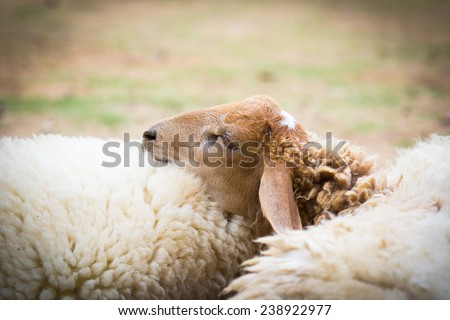 Closeup of sheep sleeping together on the farm ground - stock photo