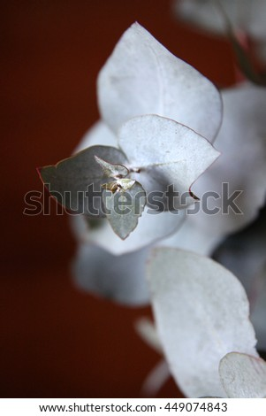 Closeup of silver ghost gum tree leaves - stock photo