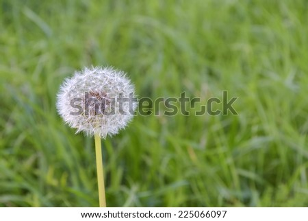 Closeup of single blooming dandelion in pastel colors - stock photo