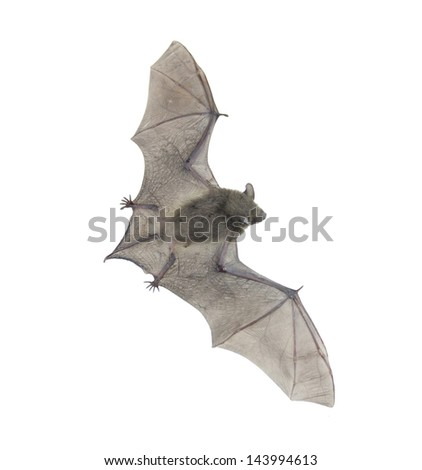 Closeup of small bat flying,isolated on white - stock photo