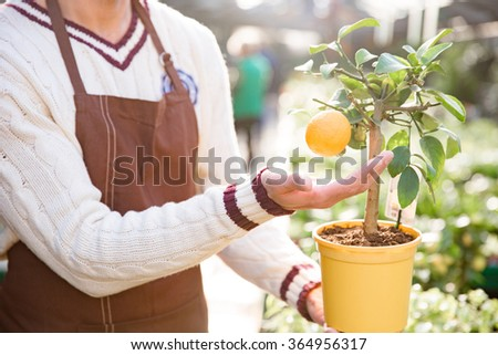 Closeup of small mandarine tree in orange pot with one ripe tangerine holded by man gardener  - stock photo