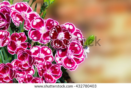 Closeup of speckled gillyflowers or sweet williams with vibrant colors and copy space. - stock photo