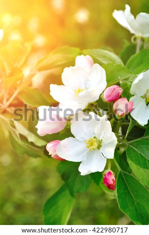 Closeup of spring blooming apple flowers under soft sunlight- natural spring floral background. Apple tree branch in the spring garden. Selective focus at the central flower.  - stock photo