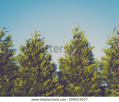 Closeup of spruce trees against clear sky - stock photo