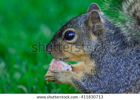 Closeup of squirrel holding a radish side profile detailed face ears paws eyes. Selective focus forward - stock photo