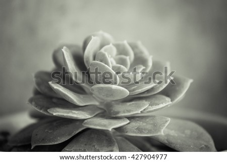 Closeup of Succulent plants with toned colour and selective focus. - stock photo
