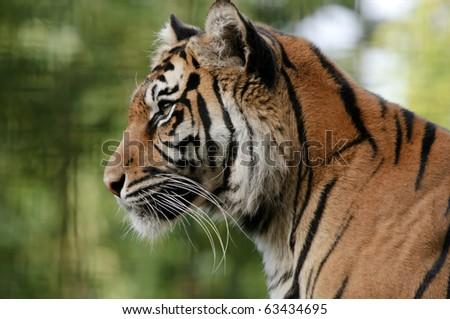 Closeup of Sumatran Tiger (Panthera tigris sumatrae) - stock photo