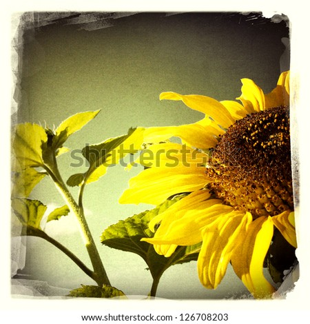 Closeup of sunflower - stock photo