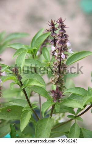Closeup of Sweet Basil / Thai Basil. - stock photo
