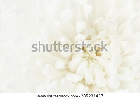 Closeup of tender white chrysanthemum flower - stock photo