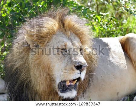 Closeup of the beautiful lion - stock photo