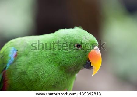 Closeup of the Electus Parrot (Eclectus roratus) - stock photo