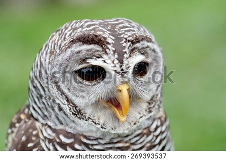 Closeup of the face of a barred owl, Strix varia, with the beak open - stock photo