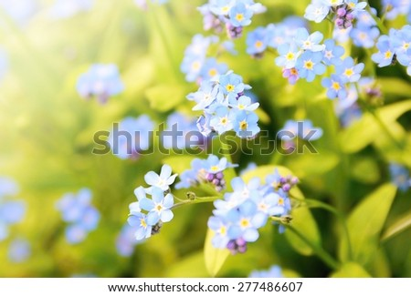 Closeup of the Forget me not plant (Myosotis sylvatica). This plant has small blue blossom and green leaves. - stock photo