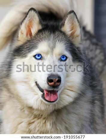 Closeup of the head of a husky dog - stock photo