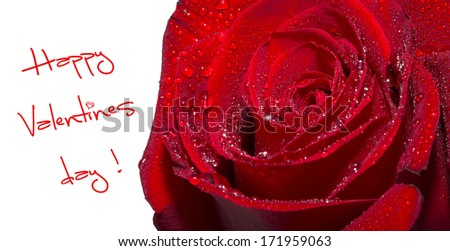Closeup of the petals of red rose covered with water drops on white background  - stock photo