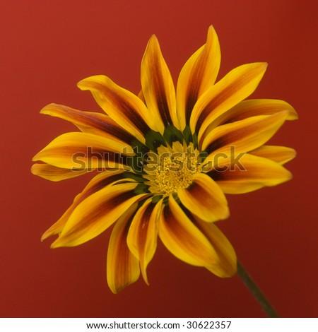 closeup of the single gazania flower - stock photo