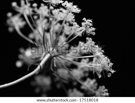 closeup of the umbel of the wildflower Queen Anne's Lace - stock photo