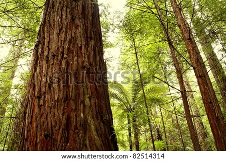 Closeup of tree trunk in redwood forest - stock photo