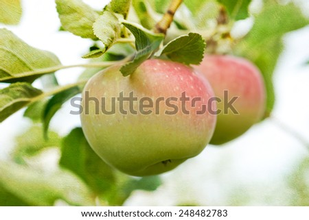 Closeup of two apples growing on the tree, home garden, file blended with a textured background - stock photo