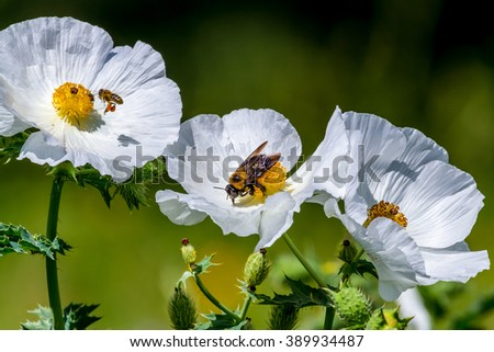 Closeup of Two Bees on Bright and Beautiful White Prickly Poppy (Argemone albiflora) Wildflower Blossoms with their Paper-like Petals Growing Wild in a Texas Meadow. - stock photo