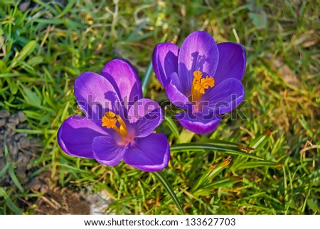 Closeup of two blooming crocuses, top view - stock photo