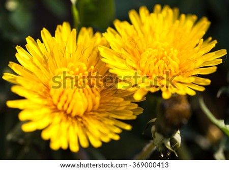 Closeup of two blooming yellow dandelion flowers. - stock photo