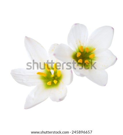 Closeup of Two lilies isolated on a white background. zephyranthes candida - stock photo