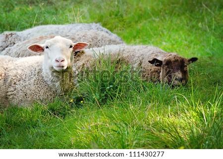 Closeup of two sheep lying on green grass - stock photo
