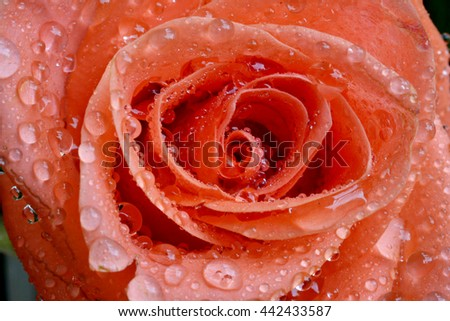 Closeup of vibrant orange roses with water droplets flower bouquet - stock photo