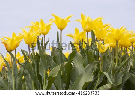 closeup of vibrant yellow tulips in flower field in holland - stock photo