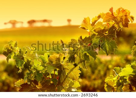 Closeup of vine leaves - stock photo