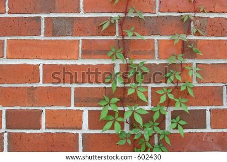 Closeup of vine on brick wall. - stock photo