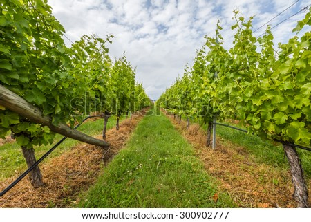 Closeup of vineyard field in the area between Richmond, Cambridge and Hobart in Tasmania, Australia. - stock photo