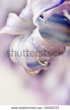 Closeup of violet flower with water drops - stock photo
