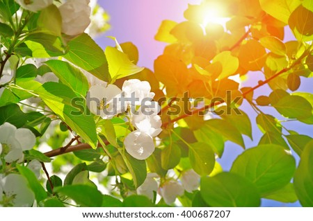 Closeup of white apple blooming flowers under bright sunshine. Spring natural background. Soft filter applied.  - stock photo