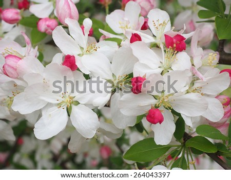 Closeup of White Cherry Blossoms Blooming in Springtime - stock photo