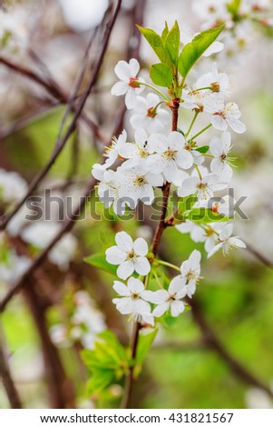 Closeup of white cherry flowers in spring time (shallow dof) - stock photo