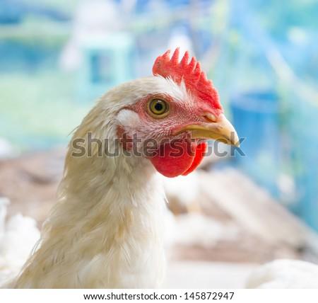 Closeup of white chicken - stock photo