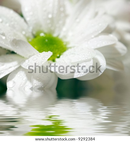 Closeup of white daisy-gerbera with soft focus reflected in the water - stock photo