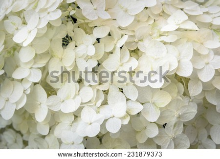 closeup of white hortensia - stock photo