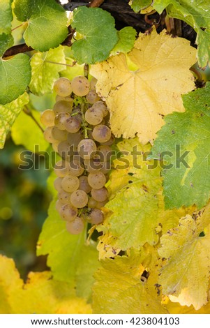 closeup of white riesling grapes on vine - stock photo