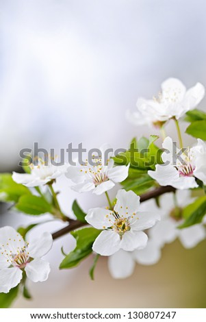 CLoseup of white spring cherry blossom flowers on branch - stock photo