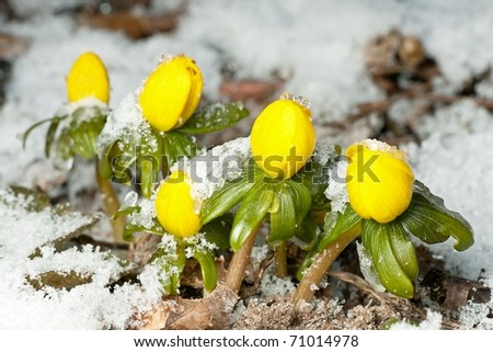 Closeup of winter aconite in a row with snow - stock photo